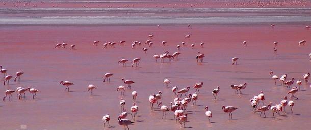 Салинас Торревьеха. Розовый фламинго